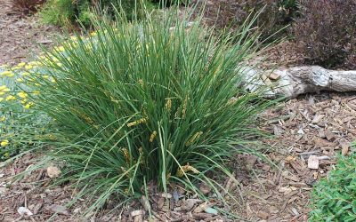 Lomandra Ice Queen