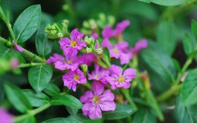 Cuphea Jocelyn's Pink (PBR)