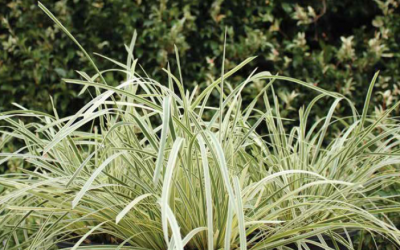 Lomandra Great White (PBR)