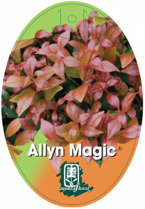 Acmena-Allyn-Magic-209x300