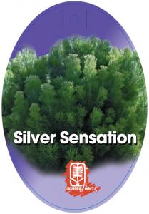 Adenanthos-Silver-Sensation-209x300