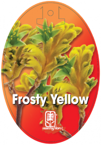 Anigozanthos-Frosty-Yellow-208x300