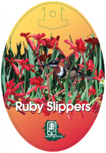 Anigozanthos-Ruby-Slippers-207x300