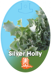 Atriplex-Silver-Holly-209x300