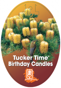 Banksia-Birthday-Candles-208x300