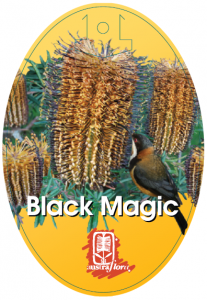 Banksia-Black-Magic-207x300