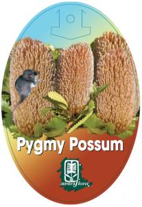 Banksia-Pygmy-Possum-207x300