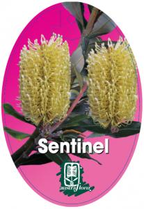 Banksia-Sentinel-207x300