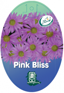 Brachyscome-Pink-Bliss-207x300