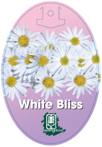 Brachyscome-White-Bliss-208x300