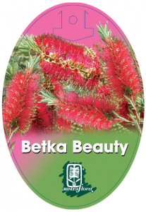 Callistemon-Betka-Beauty-207x300