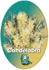Callistemon-Candelabra-208x300