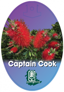 Callistemon-Captain-Cook-208x300