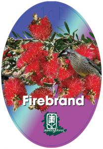 Callistemon-Firebrand-208x300