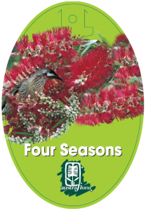 Callistemon-Four-Seasons-208x300