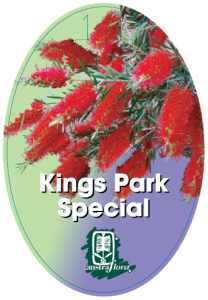 Callistemon-Kings-Park-Special-208x300