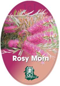Callistemon-Rosy-Morn-208x300