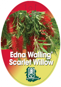 Callistemon-Scarlet-Willow-209x300