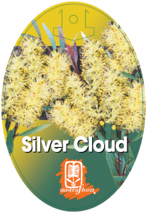 Callistemon-Silver-Cloud-209x300