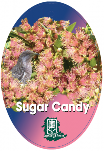 Callistemon-Sugar-Candy-208x300