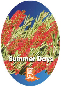 Callistemon-Summer-Days-210x300