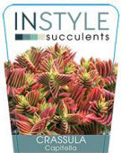 Crassula-Capitella-142x300-142x300