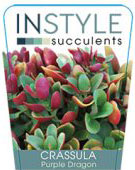 Crassula-Purple-Dragon-1-142x300
