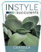 Crassula-dubia-instyle-succulents-142x300-142x300