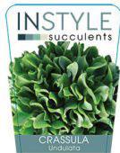 Crassula-undulata-instyle-succulents-142x300-142x300