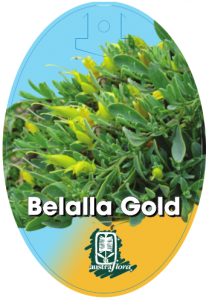 Eremophila-Belalla-Gold-209x300