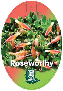 Eremophila-Roseworthy-208x300