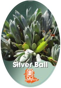 Eremophila-Silver-Ball-209x300