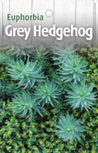 Euphorbia-Grey-Hedgehog-193x300