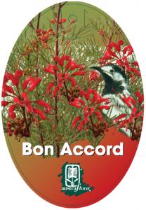 Grevillea-Bon-Accord-208x300