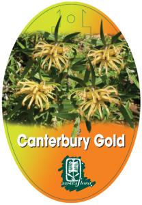Grevillea-Canterbury-Gold-208x300