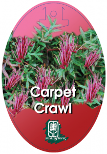 Grevillea-Carpet-Crawl-209x300