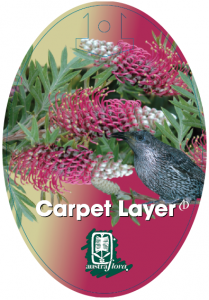 Grevillea-Carpet-Layer-209x300