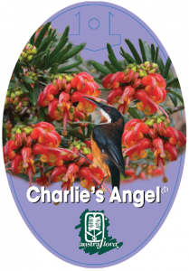 Grevillea-Charlies-Angel-209x300