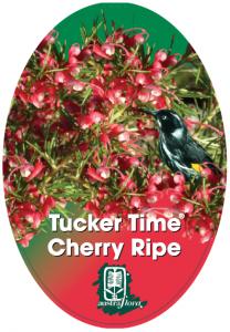 Grevillea-Cherry-Ripe-208x300