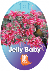 Grevillea-Jelly-Baby-207x300