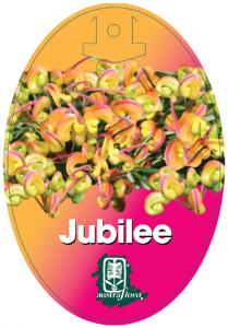Grevillea-Jubilee-209x300