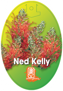 Grevillea-Ned-Kelly-209x300