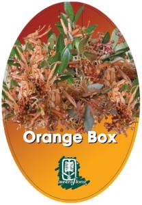 Grevillea-Orange-Box-208x300