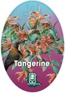 Grevillea-Tangerine-209x300