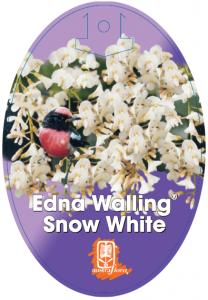 Hardenbergia-Snow-White-208x300