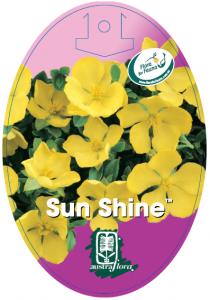 Hibbertia-Sun-Shine-210x300