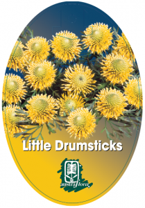 Isopogon-Little-Drumsticks-209x300
