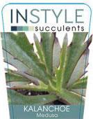 Kalanchoe-medusa-instyle-succulents-142x300-142x300