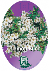 Leptospermum-Lemon-Bun-209x300