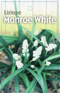 Liriope-Monroe-White-192x300